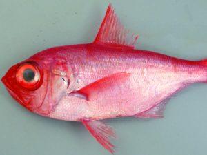 深海 魚 ブス